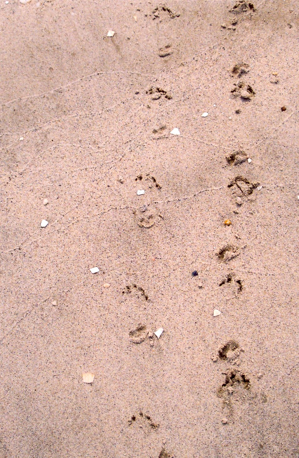 Terrapin tracks in wet sand