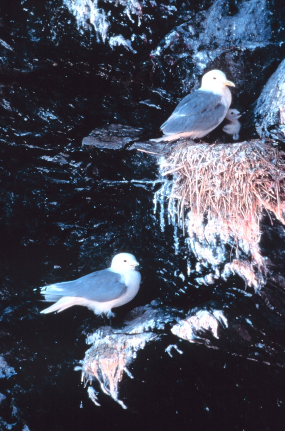 Black-legged kittiwakes with chick