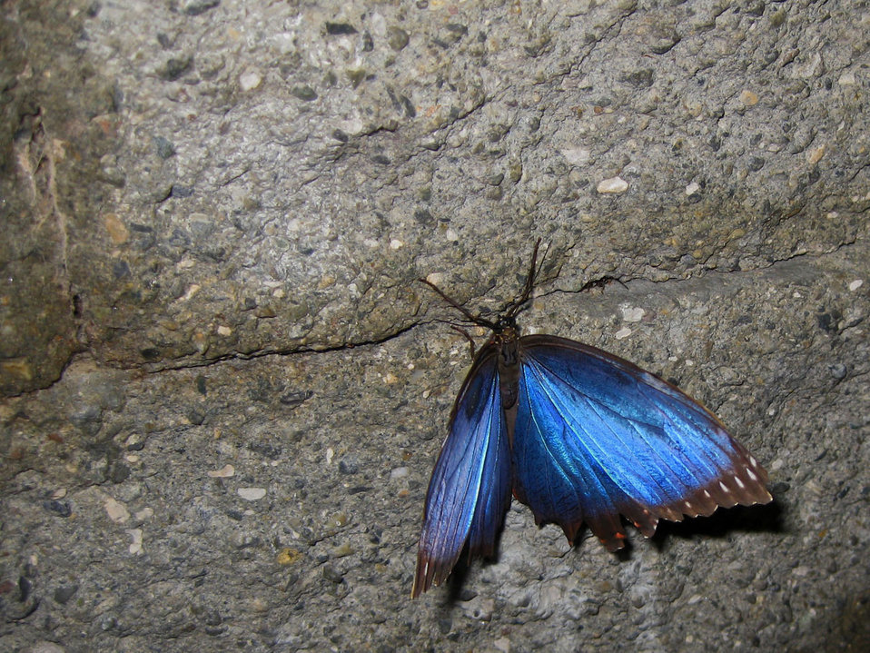 Blue morpho on wall