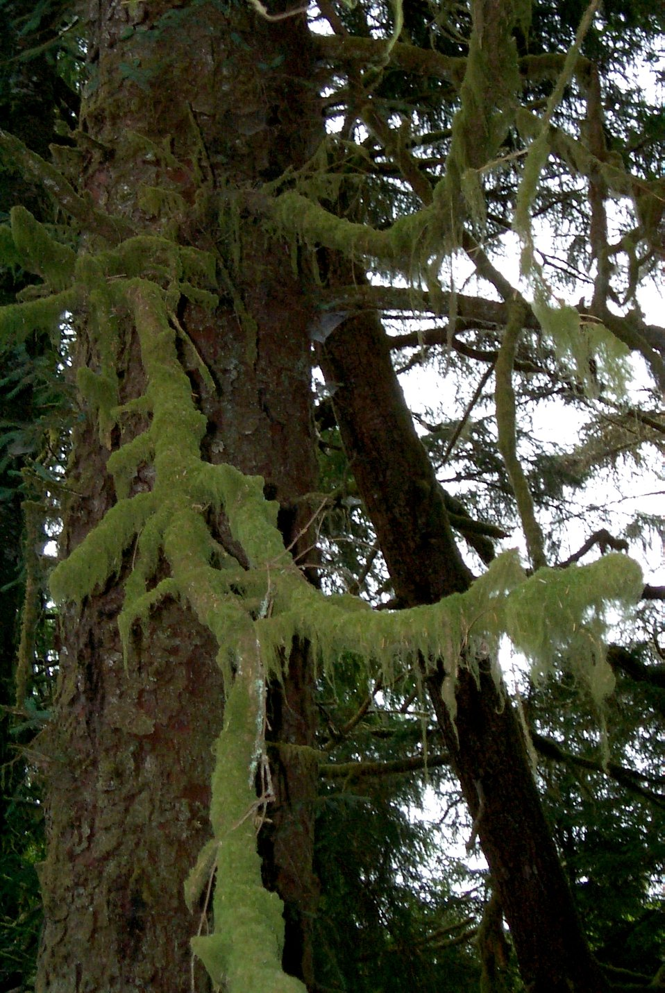 Moss on fir tree at Fort Clatsop National Memorial.