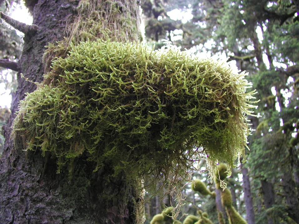 Moss covering part of tree in the rain forest environment of Spruce Island