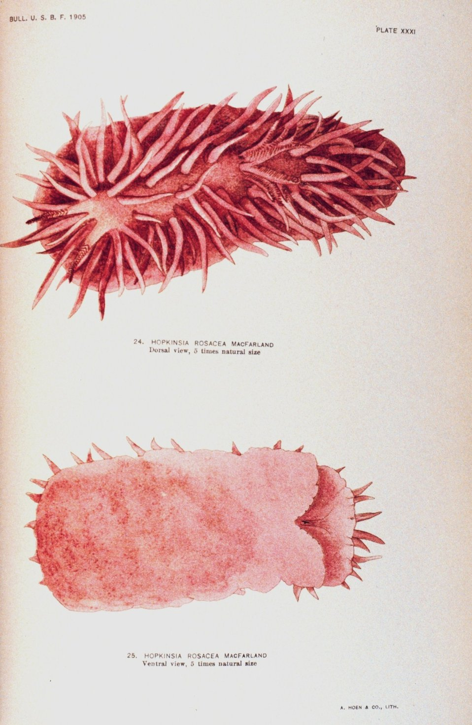 Nudibranch.  24 and 25.  Hopkinsia rosacea MacFarland - dorsal and lateral views .  Views painted by Anna B. Nash of the Hopkins Seaside Laboratory.  In: 'Opisthobranchiate Mollusca from Monterey Bay ....', Bulletin of the Bureau of Fisheries, Volume 2