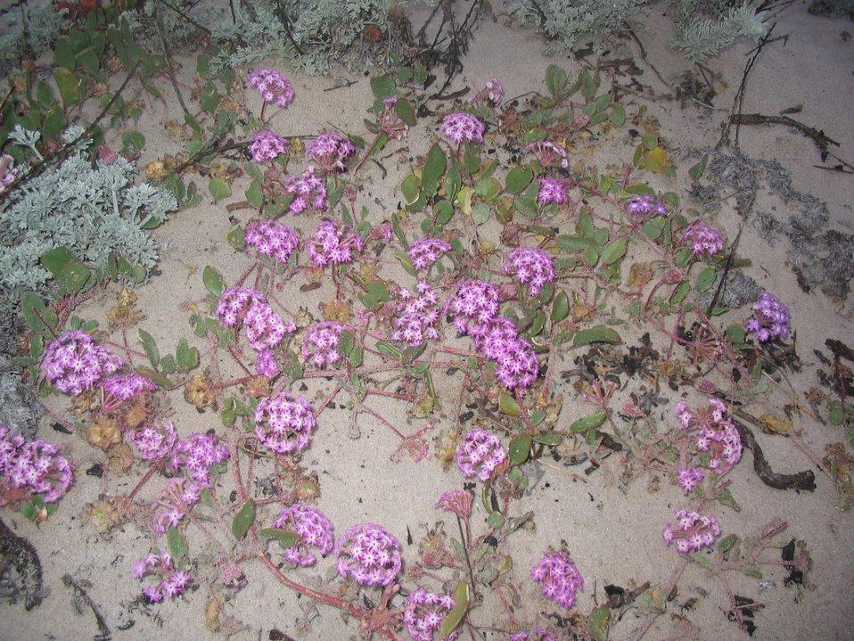 Pinkish-lavendar sand verbena (Abronia umbellata)