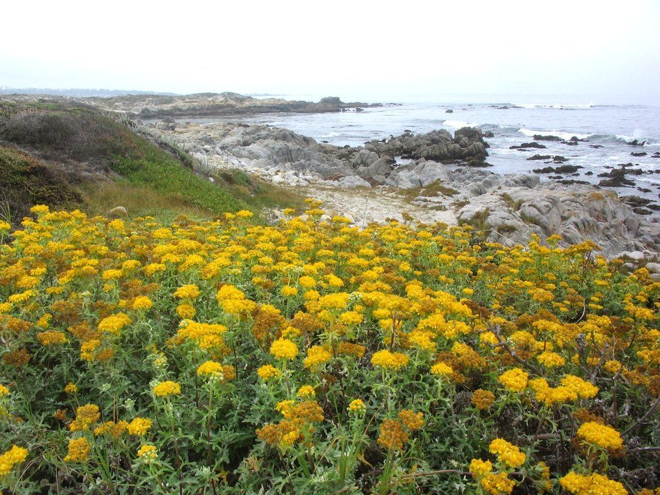 Eriophyllum staechadifolium artemisiaefolium. flowers with rocky shore of Pacific Grove