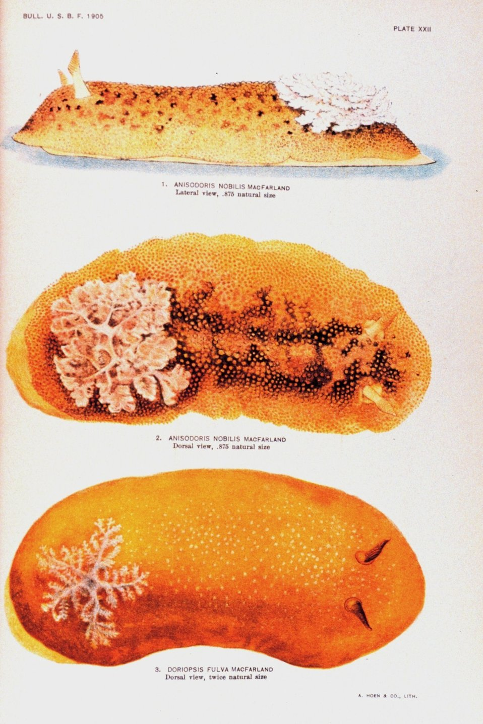 Nudibranchs.  1. Anisodoris nobilis MacFarland - Lateral view.  2.  Anisodoris nobilis MacFarland -- Dorsal view.  3.  Doriopsis fulva Macfarland -- Dorsal view.  All views painted by Anna B. Nash of the Hopkins Seaside Laboratory.  In: 'Opisthobranchia