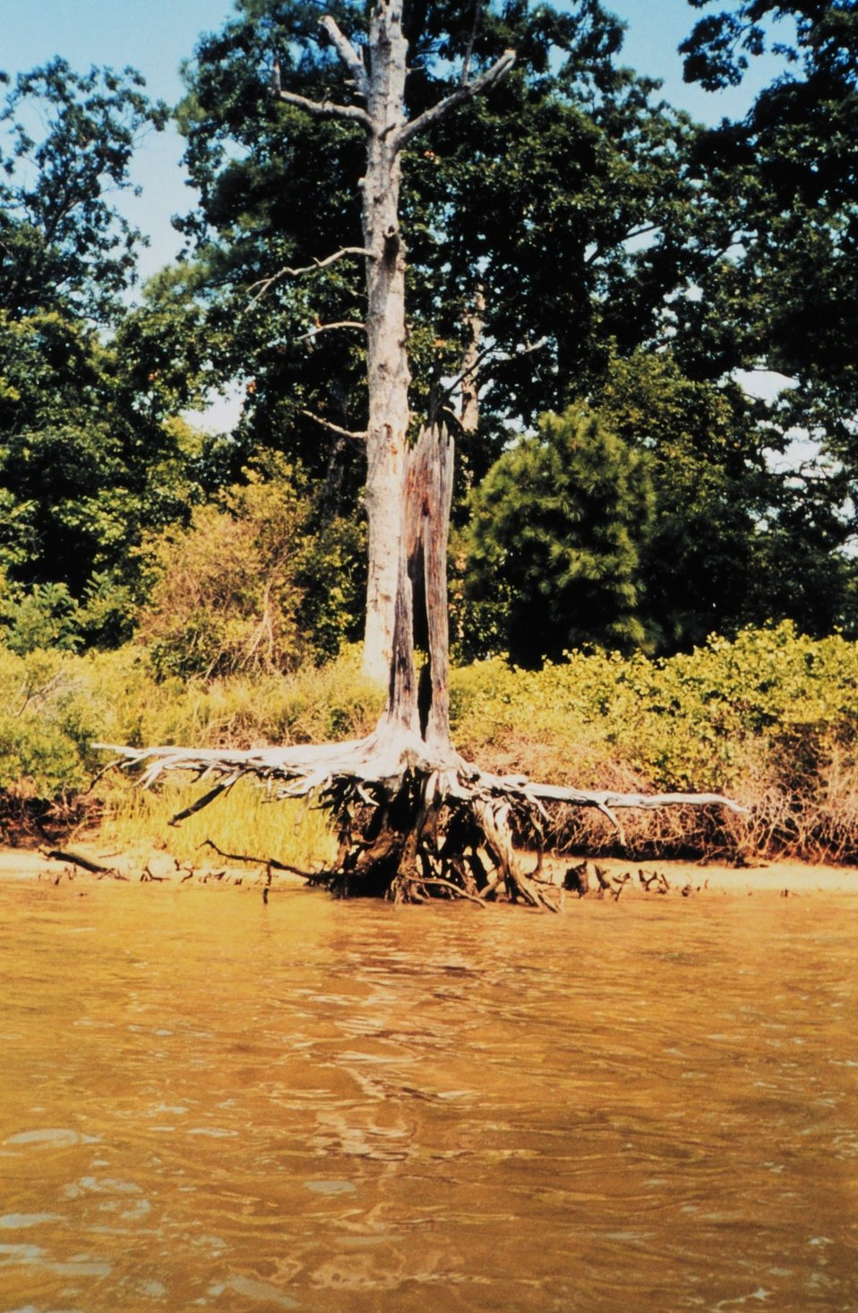 Stump of a large tree still standing though roots exposed and outstretched.  At the mouth of Dividing Creek on Wye Island.  This gives an indication of the extent of erosion in this area.