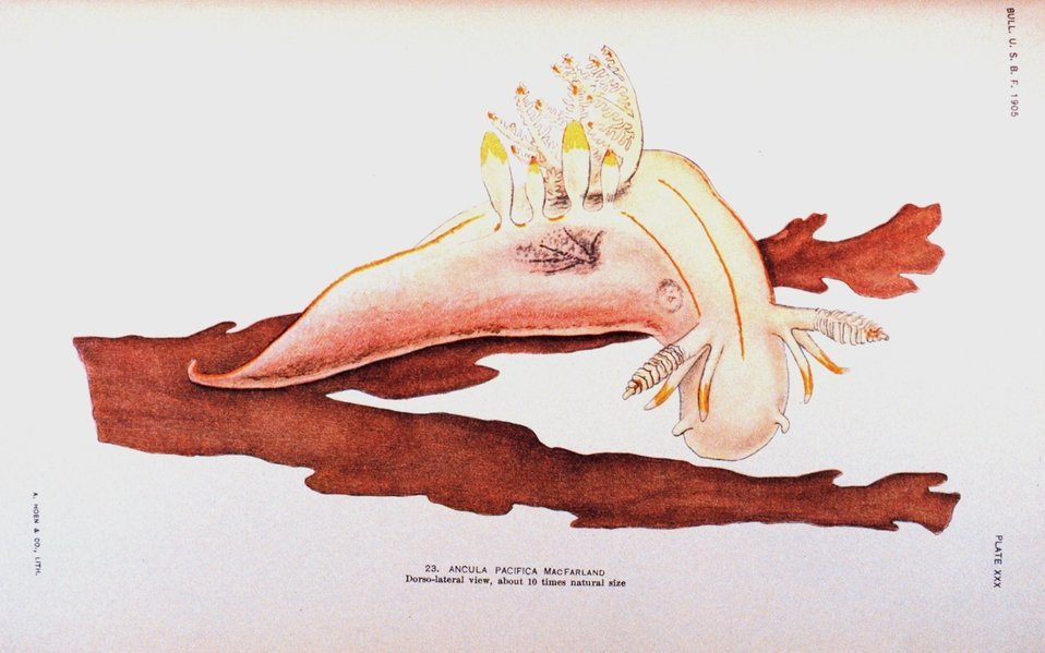 Nudibranch.  23.  Ancula pacifica MacFarland - Dorso-lateral view. 23 painted by Anna B. Nash of the Hopkins Seaside Laboratory.  In: 'Opisthobranchiate Mollusca from Monterey Bay ....', Bulletin of the Bureau of Fisheries, Volume 25, 1905.  P. 151, Pl