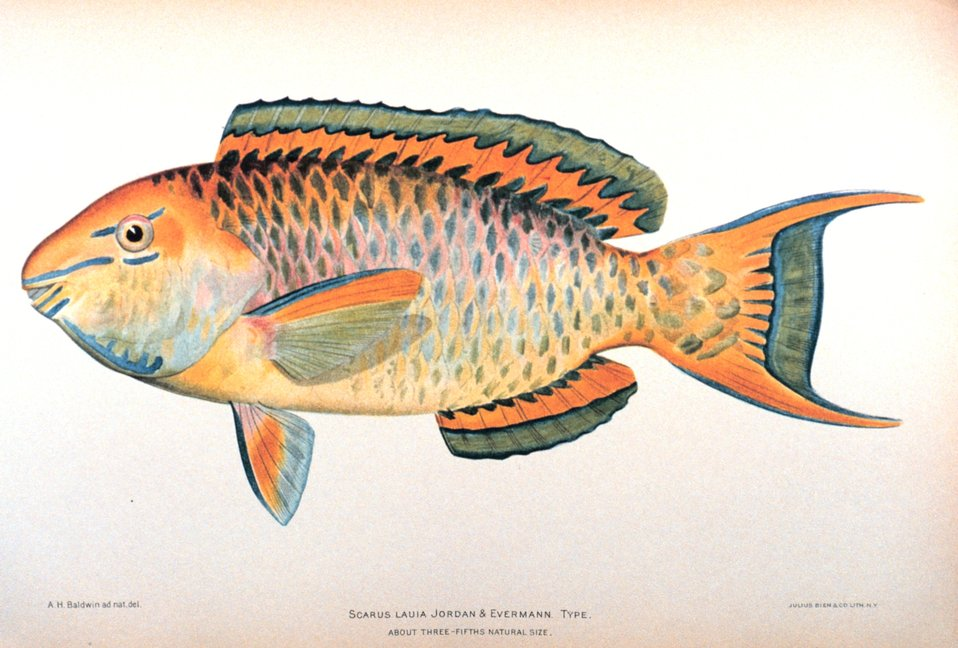 Scarus lauia Jordan & Evermann.  Type. In: 'The Shore Fishes of the Hawaiian Islands, with a General Account of the Fish Fauna', by David Starr Jordan and Barton Warren Evermann. Bulletin of the United States Fish Commission, Vol. XXIII, for 1903.  Par