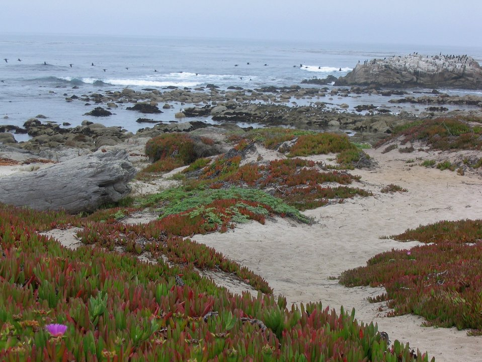 Iceplant (Carpobrotus edulis), rocky outcrops and cormorants at Asilomar State Beach.