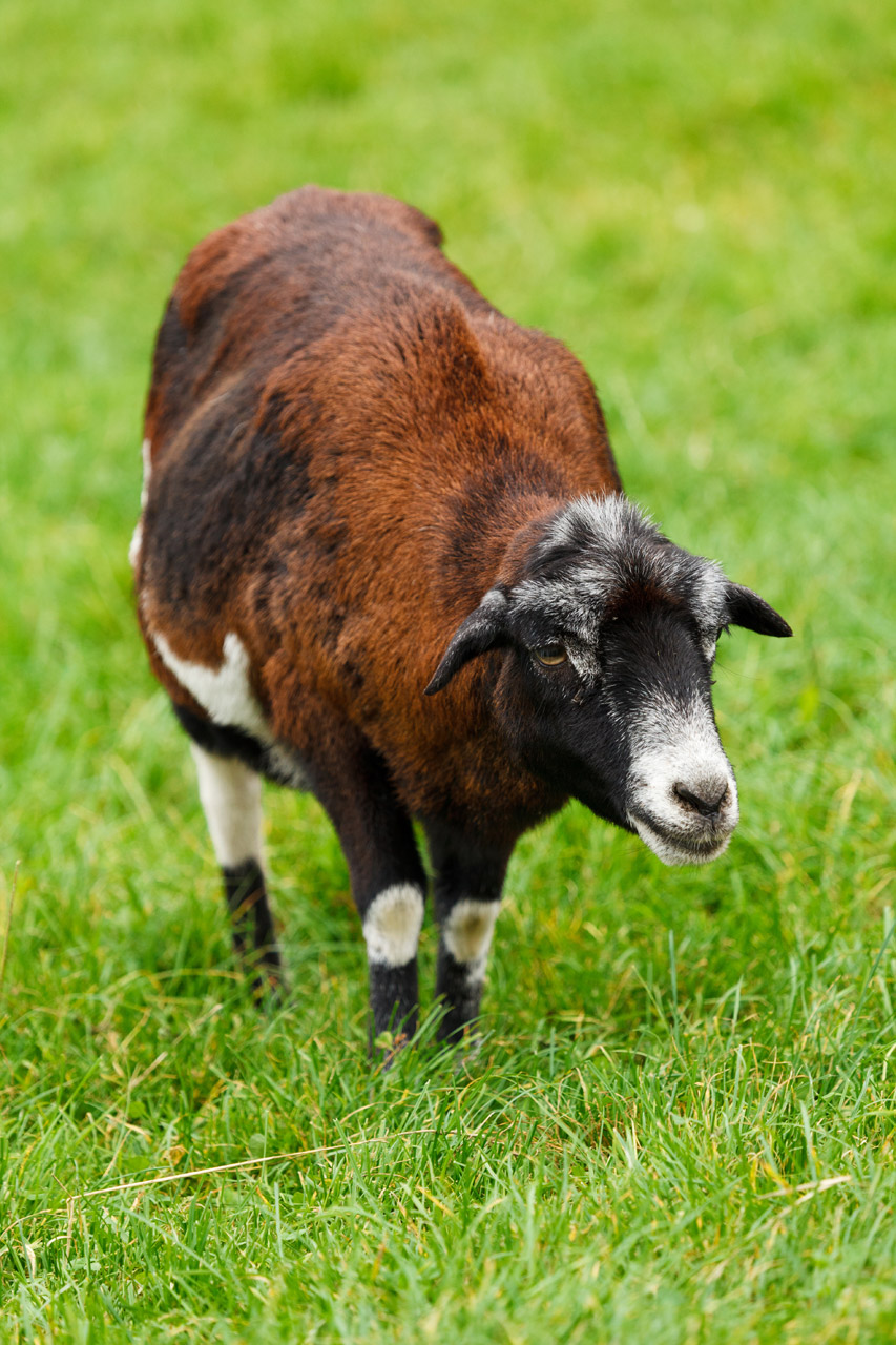 Goat on grass