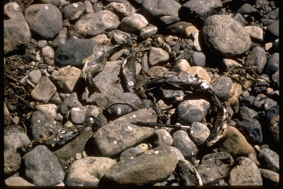 Dead fish blending in with rocks.