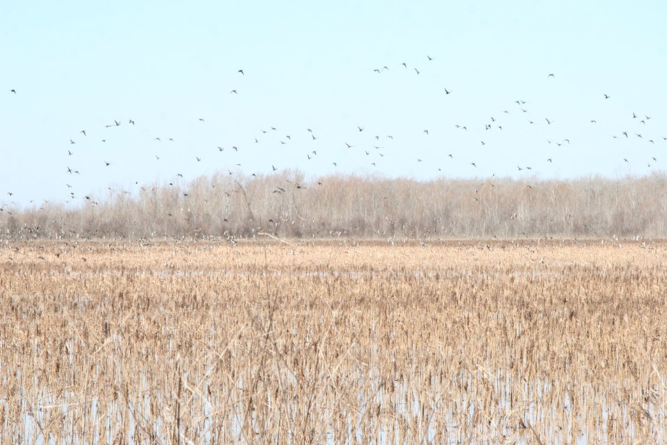 More ducks at Grand Cote