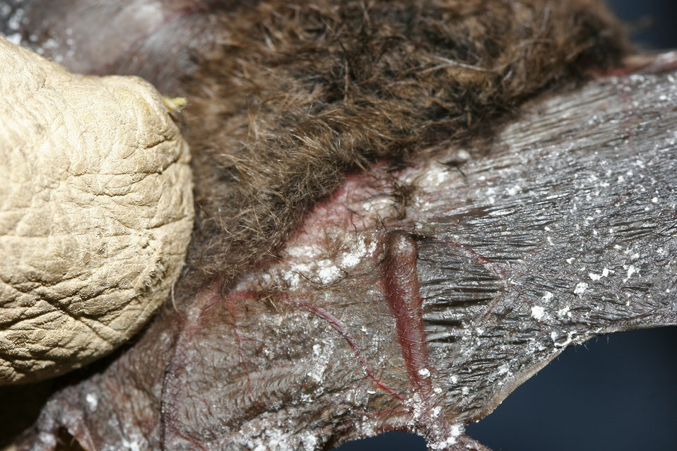 Little brown bat; Fungus on wing and tail membrane, Oct. 2008, New York