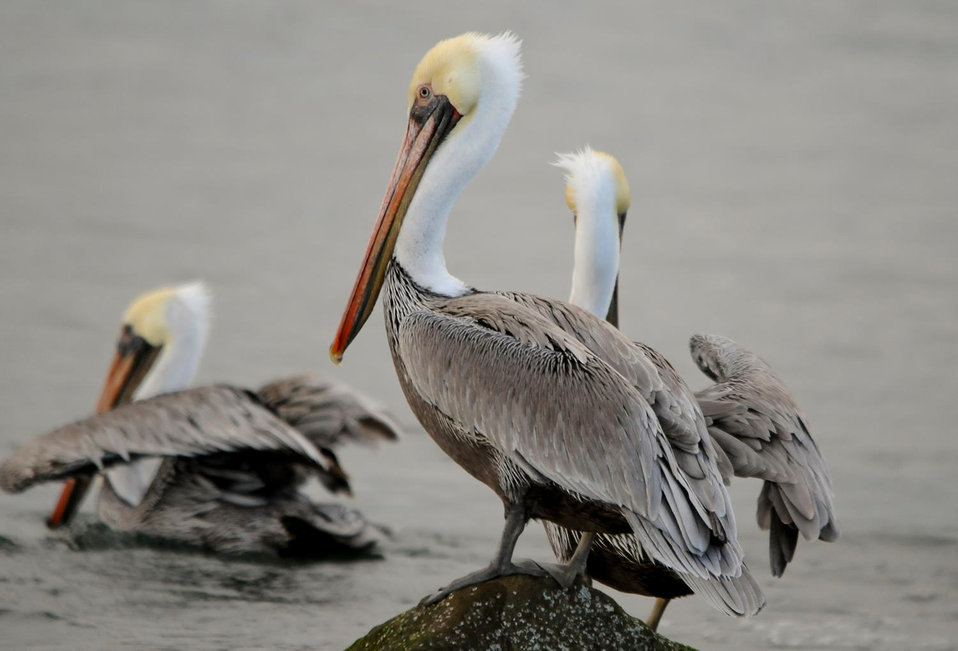 pelicans overwintering at Oregon Coast NWR