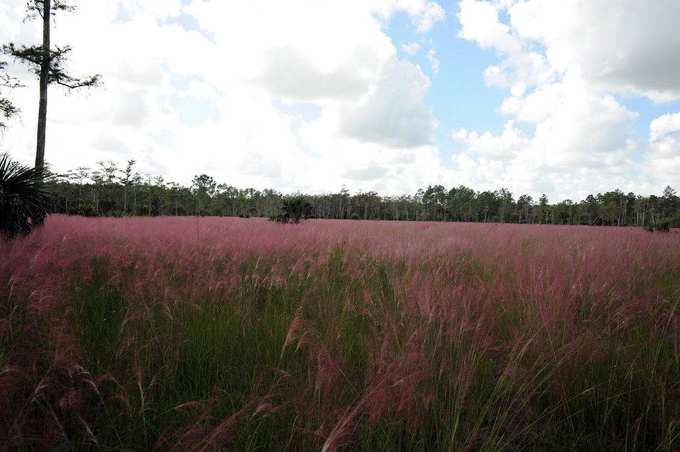 muhlenbergia (muhly grass)