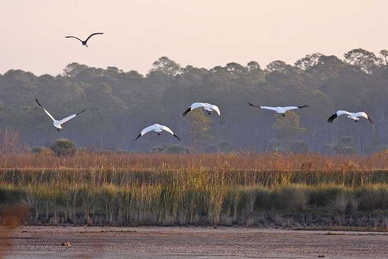whooping cranes and marsh