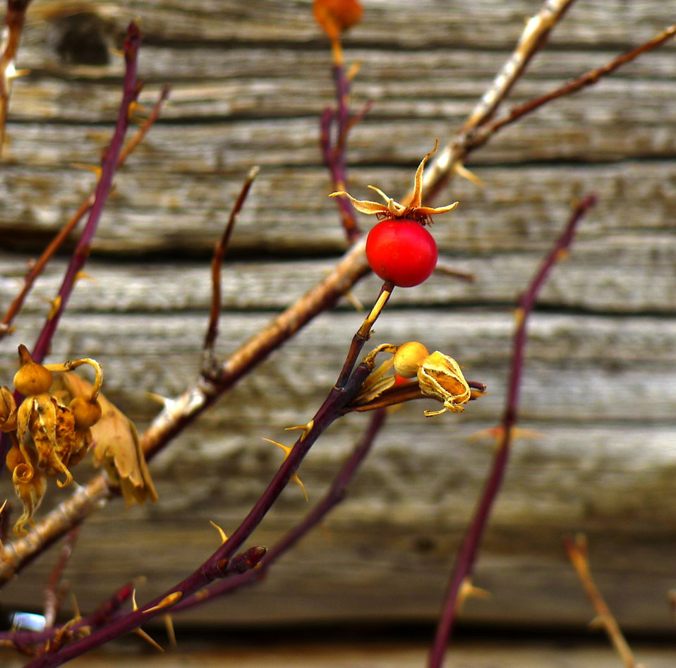 rosehips at an old homestead
