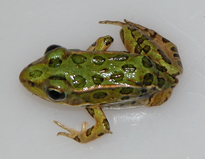 Northern leopard frog with missing limb.