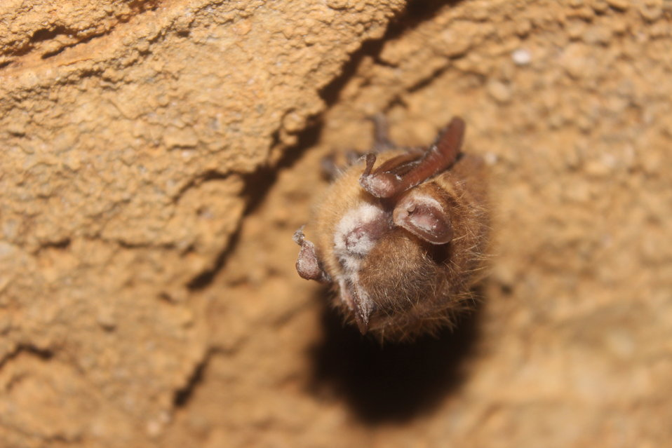 Tri-colored bat with visible WNS symptom