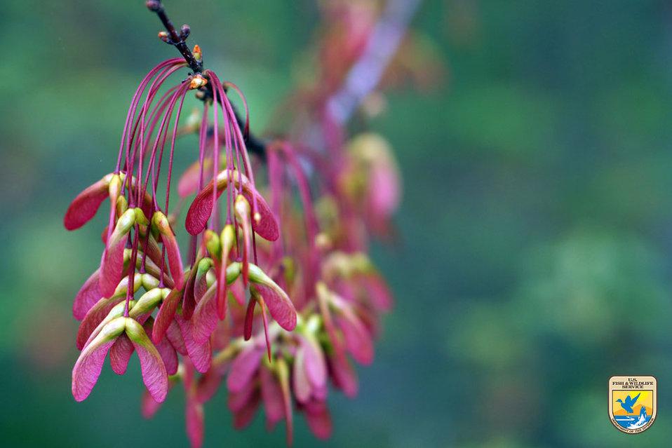 Maple Leaves - Region 4