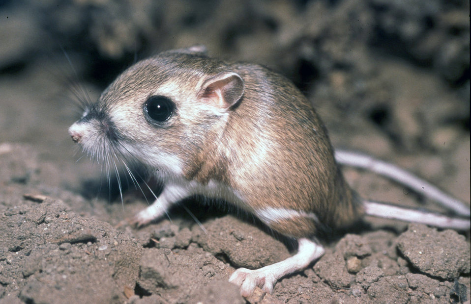 Image result for kangaroo rat