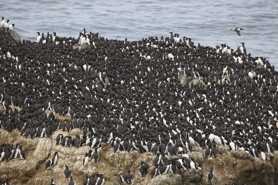 Common Murres, Oregon Islands NWR