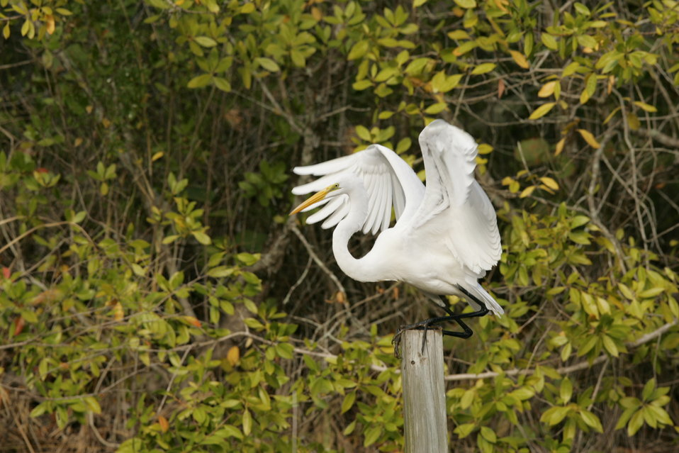 Great Egret, J.N. 'Ding' Darling NWR