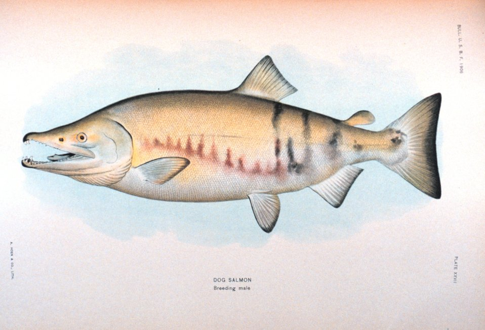 Dog salmon, breeding male.  In:  'The Fishes of Alaska.' Bulletin of the Bureau of Fisheries, Vol. XXVI, 1906.  P. 360, Plate XXVII.