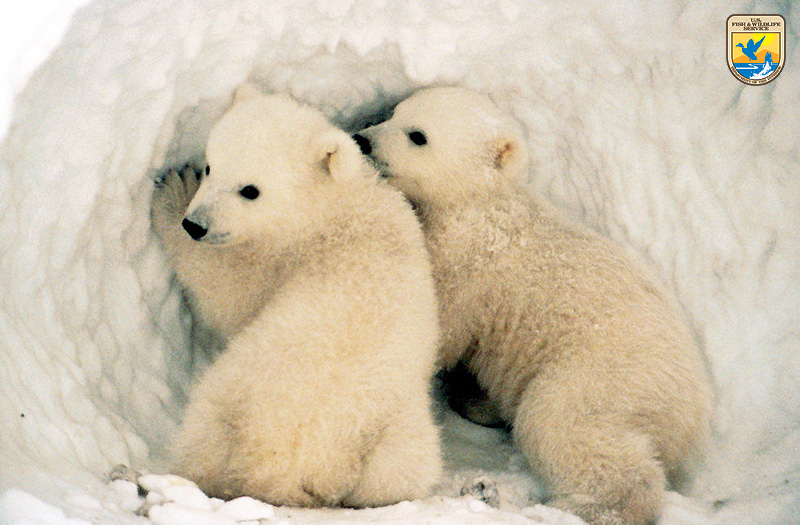 Polar Bear cubs, Alaska