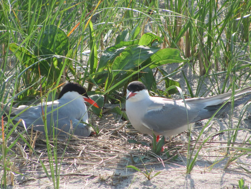 Common terns, Monomoy Refuge