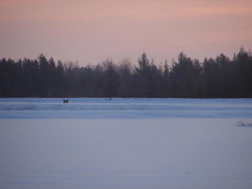 coyote before dawn