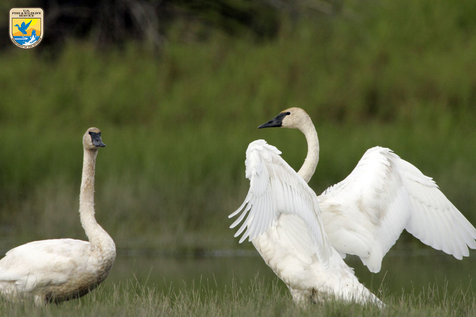 Swans - Region 7