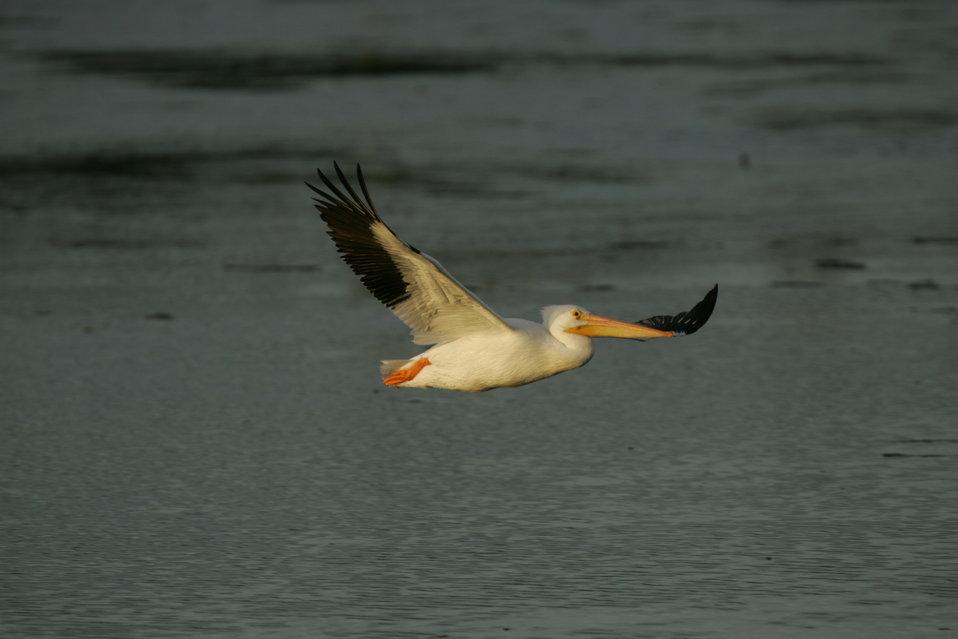 White Pelican, J.N. 'Ding' Darling NWR