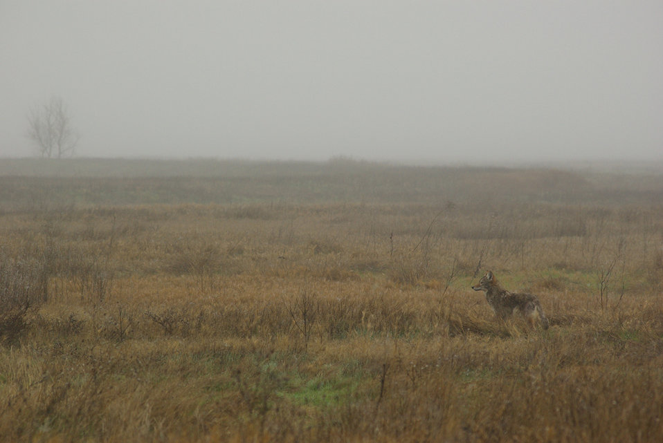 coyote in mist
