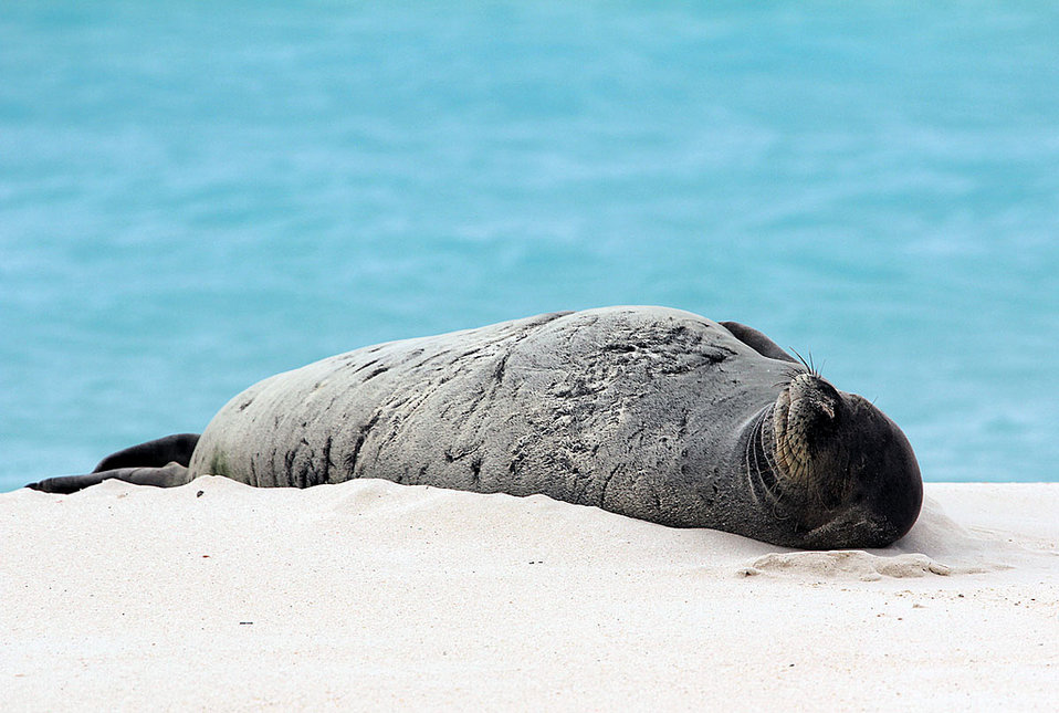 endangered Hawaiian monk seal sunning on the beach