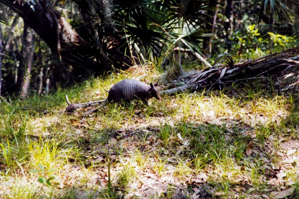 An armadillo with oaks and palmettos in the background.