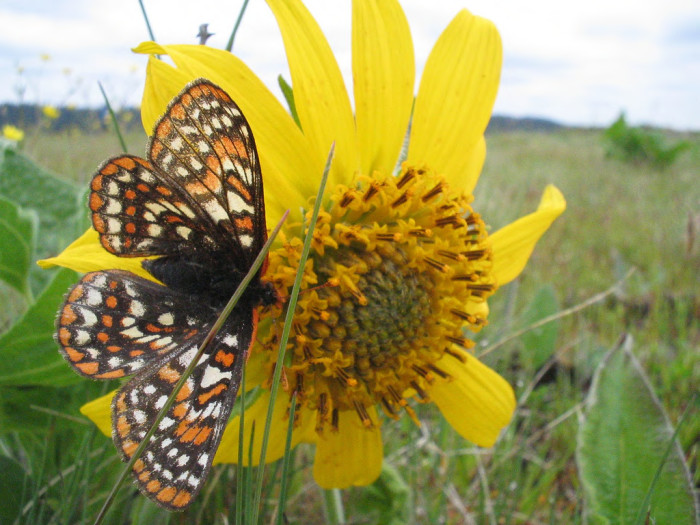 Taylor's checkerspot butterfly (candidate for endangered species listing)
