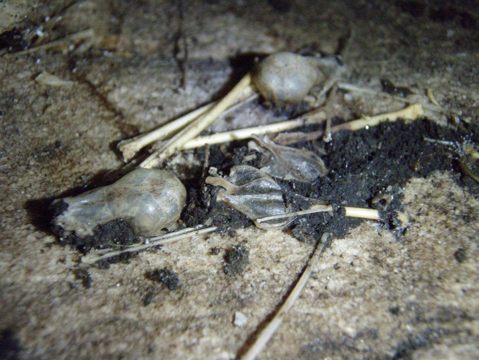 Bat skulls and bones