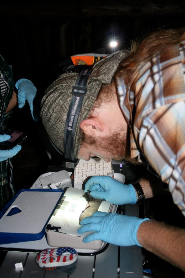 BU researcher Nate Fuller inspects bat wing