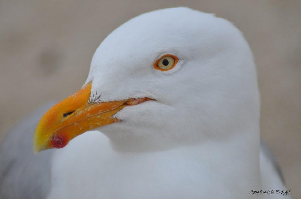 Henry the Gull