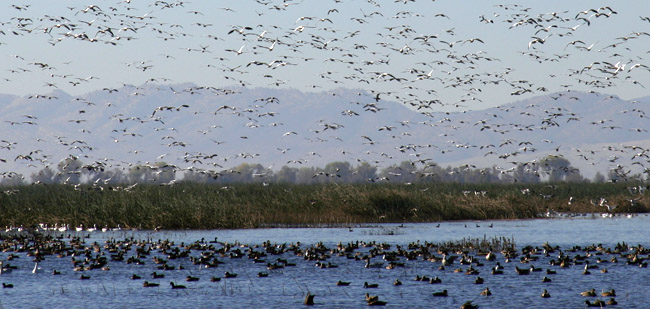 waterfowl gathering