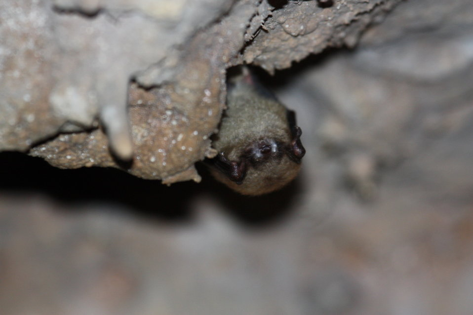 Little brown bat with visible fungus from Onondaga Cave