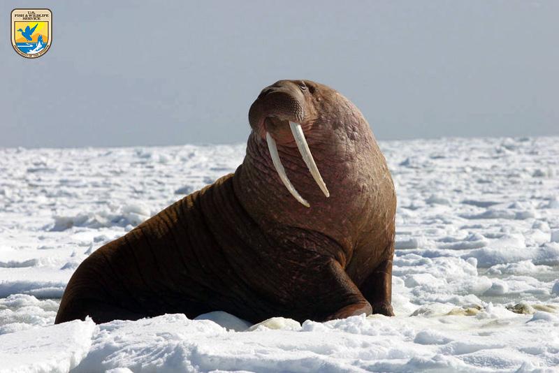 Pacific Walrus - Bull