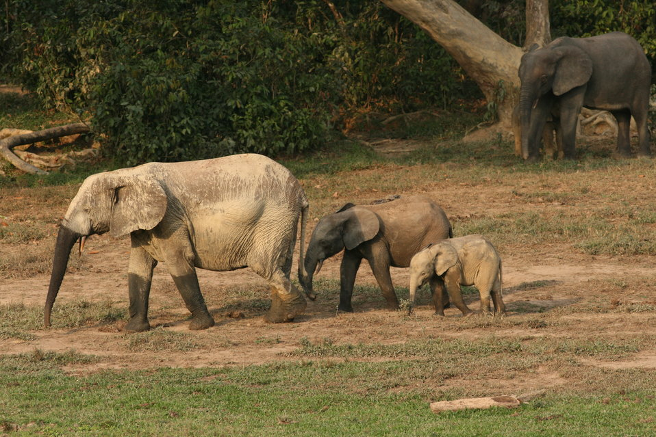 Forest elephant group 5
