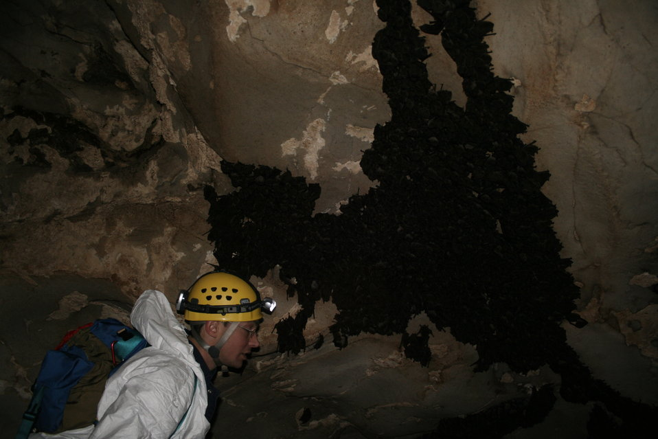 Researcher with cluster of gray bats