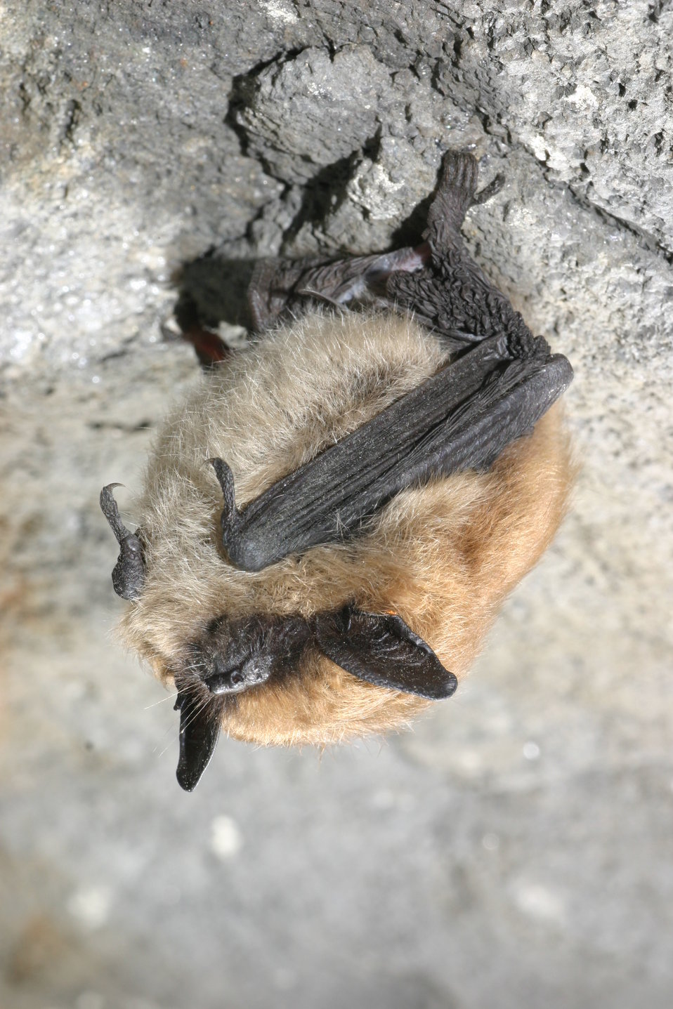 Eastern small-footed bat