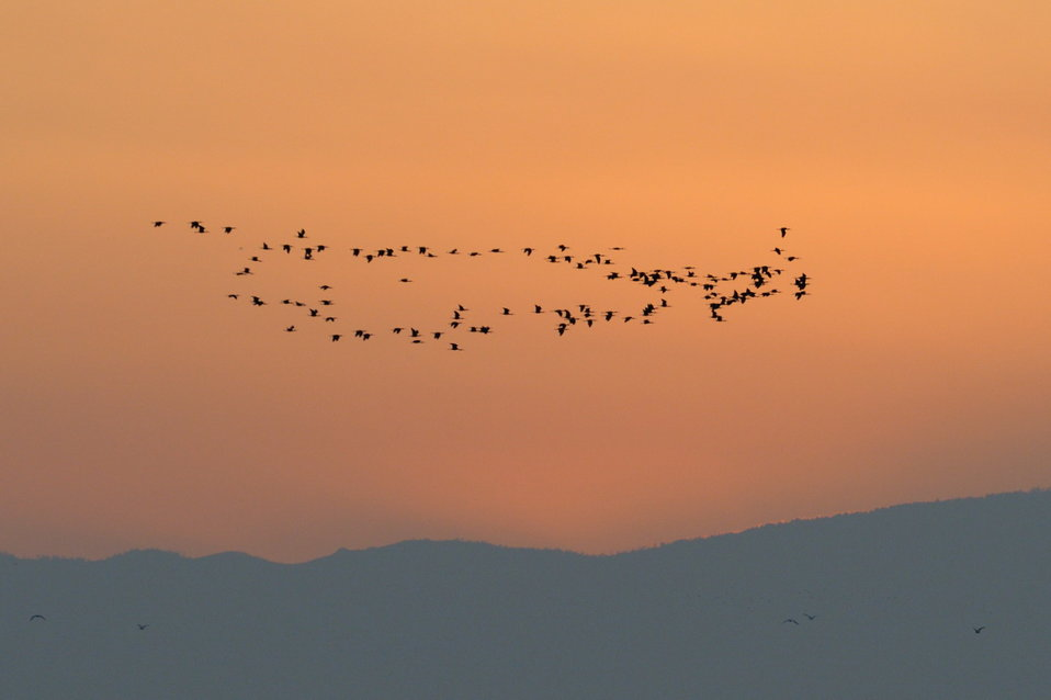 ibis in flight at sunset