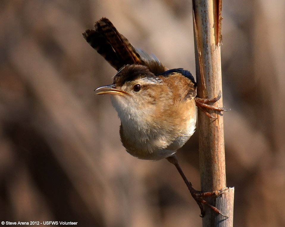 Marsh Wren (Cistothorus palustris) Great Meadows NWR, Concord, MA