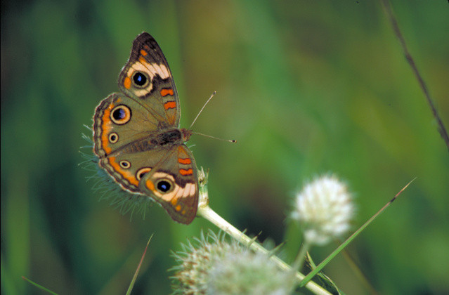 common buckeye butterfly on rattlesnake master