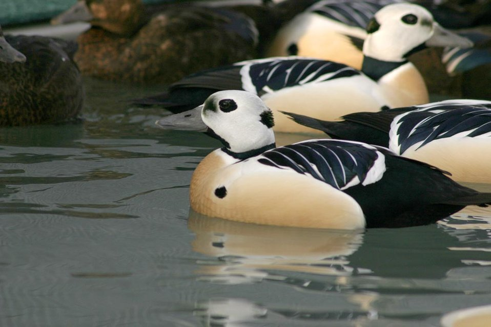 Threatened Steller's eider (Polysticta stelleri) males, Alaska SeaLife Center, Seward, Alaska